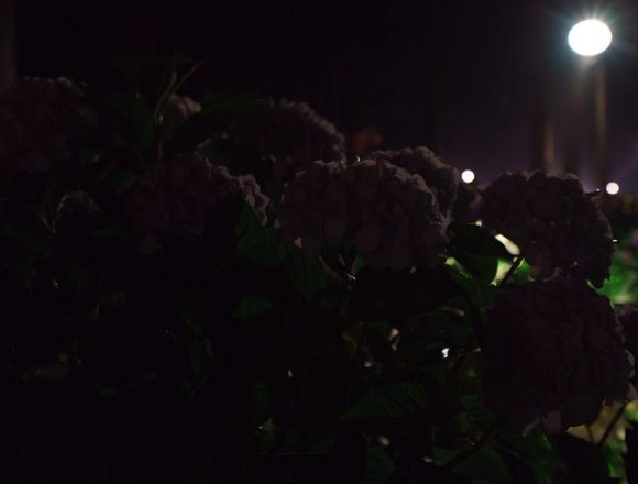 #hydrangea #silhouette #mimurotoji #floodlights #uji is not #kyoto ;) #紫陽花 #シルエット #三室戸寺 #ライトアップ #宇治 is not #京都