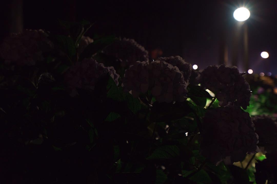 #hydrangea #silhouette #mimurotoji #floodlights #uji is not #kyoto ;) #紫陽花 #シルエット #三室戸寺 #ライトアップ #宇治 is not #京都